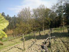 Vinhas velhas ... Old vines… #Alvarinho #Albarino
