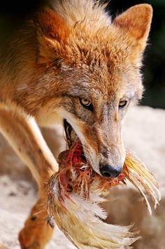 Wolf & Huhn
