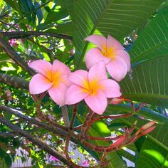 Took a quick snap of some plumeria blossoms Plumeria sp on my phone to show a friend  #plant #quick #snap #plumeria #blossoms #phone #friend #photography