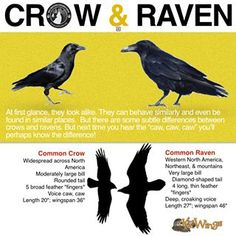 Difference between Crow & Raven Beautiful Creatures, Common Crow, Animals And Pets, Cute Animals, Quoth The Raven, Raven Art, Crow Or Raven, Raven Feather, Jackdaw