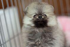 ポメラニアンのウルフセーブルという毛色が、たぬたぬしいとワイの中で話題に:ハムスター速報