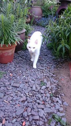 Garden path with white cat
