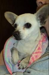 URGENT- TRISKET IN GASSING SHELTER is an adoptable Chihuahua Dog in Downingtown, PA. URGENT- TRISKET NEEDS IMMEDIATE RESUCE, ONLY WEIGHS 5 LBS....