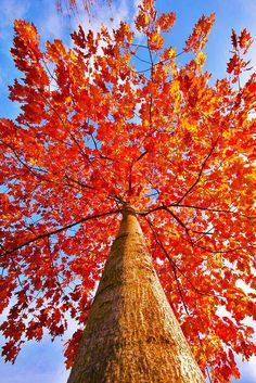 tree in autumn colours Autumn Trees, Autumn Leaves, Red Leaves, Autumn Harvest, Falling Leaves, Seasons Of The Year, Fall Season, Belle Photo, Beautiful World