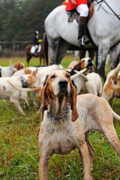 Sedgefield Hunt Club-Fox Hunt. . .never thought I'd be so in love with Hounds.