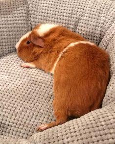 Guinea Pig Breeding, Guinea Pig Food, Pet Guinea Pigs, Pigs Eating, Guniea Pig, Rodents, Hamsters, Pig Art, Cute Piggies