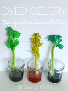 EASY science experiment for kids.... dyed celery transpiration