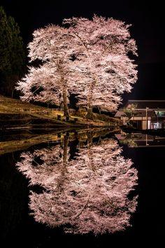 Gero-shi, gifu-ken, Japan 苗代桜-桜咲く苗代の水鏡