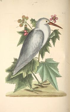 Antique bird illustration by Mark Catesby, 1683-1749. The little white Heron…