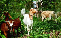 Goat Squad uses live goats to clear underbrush in an enviornmentally friendly (and entertaining) way.