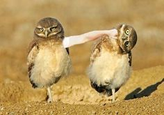 Birds with arms: owl edition