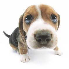 Artlist Collection THE DOG Beagle — The classic of Artlist Collection