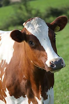 not a hereford, but I've seen that look so many times from our cows