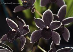 The Black Orchid, Cymbidium Black Ruby, at the Philadelphia Flower Show