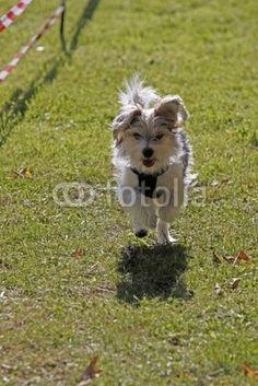 Kleiner Hund bei einem Hunderennen