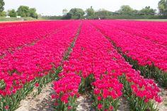 Tulip fields in Amsterdam via OhHappyDay.com which is a brilliant little website.