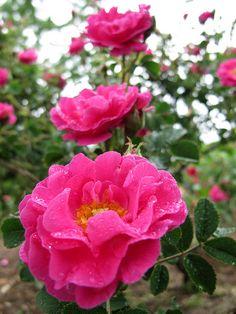 Rose La Belle Distinguee バラ ラ ベル ディスタンゲ   by T.Kiya