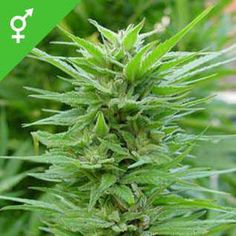 Buy Pure Power Plant seeds here! Pure Power Plant is an exceptional cannabis hybrid, and will grow large buds with a sweet, piney flavour and a powerful high effect. Weed Bong, Weed Plants, Weed Recipes, Seed Shop, Seeds Online, Weed Seeds, Planting Seeds, Medical Marijuana, Berries