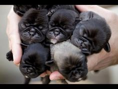 Newborn Pug Puppies how can you not want a million?!?!?