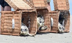 Three adorable seals get released into the wild on the German Island Juist