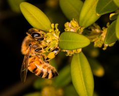 At 3:00pm, near our main apiary, collecting pollen from a laurel. Honey Bee Photos, Types Of Bees, Honey Favors, Candle Favors, Beeswax Candles, Raw Honey, Bee Keeping, Animals, Animales
