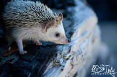 Inky the Hedgehog by ~inkyphotography on deviantART