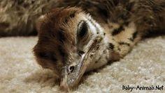 Baby ostrich sleep   #babyanimals #babyostrich #ostrich #cuteostrich #littleostrich #sweetostrich #ostrichphotos #babyostrichpictures