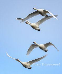 Stacked by Gary Davenport on Capture Southwest Washington // Tundra Swans