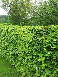 Bok | Ett av de vackraste ädellövsträden. Är vanlig som solitärträd, men blir också mycket vacker som klippt häck med en höjd mellan 1-3 meter. Som finast blir häcken med en bredd på 30-50 cm. Bladen sitter ofta kvar under vintern och släpper dessa först vid bladutspringet på våren. Trivs i sol till halvskugga, gärna i kalkhaltig morän med god tillgång på fukt. Behöver gott om plats för att kunna utvecklas vackert. Zon 1-4. Rådjursresistent.