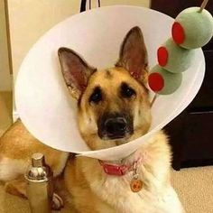 When your baby has to wear the cone, she deserves a martini, shaken, not stirred with tennis ball olives. #cone #dog #germanshepherd #dogs #dogsofinstgram #mondaymotivation #petsarefamily #petwill #tennisball #martini #shakennotstirred #olives #protectyourpets #mypetwill #coneofshame