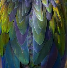 NICOBAR PIGEON FEATHERS