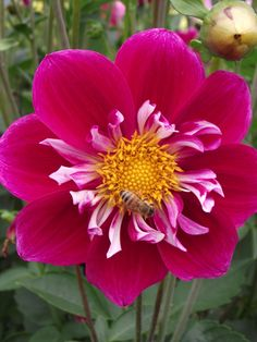 Raspberry Sky. This is a wonderful collarette, loved it in my garden. Tubers from dahlia sale in MMM.