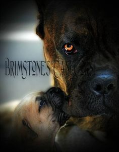 This is such a sweet and beautiful photograph, a lovely little kitten is mesmerized by her big buddy the stunning horse, little and large best friends Italian Cane Corso, Cane Corso Italian Mastiff, Cane Corso Mastiff, Cane Corso Dog, Cane Corso Kennel, Beast Friends, Black Pitbull, Presa Canario, Big Puppies