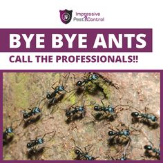Call the Professionals of Impressive Pest Control Now and get rid of Ants from your house Best Pest Control, Pest Control Services, Ant Removal, Get Rid Of Ants, Removal Services, Home Free, Brisbane, How To Remove, House