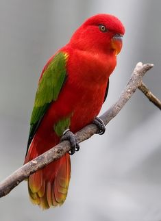 **Vulnerable**  Chattering Lory (Lorius garrulus) is a forest-dwelling parrot endemic to North Maluku, Indonesia.