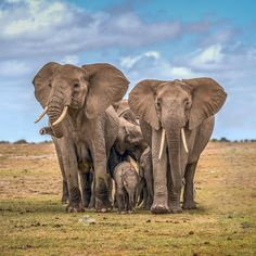 My love for animals and nature животные, слоны. African Forest Elephant, Asian Elephant, Elephant Love, Elephant Art, African Safari, Animals And Pets, Baby Animals, Cute Animals, Baby Elephants