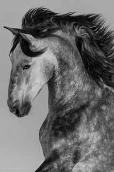 Youthful percherons click over here now Warmblood Horses, Andalusian Horse, Appaloosa Horses, Beautiful Horse Pictures, Beautiful Horses, Animals Beautiful, American Paint Horse, American Quarter Horse, Tennessee Walking Horse