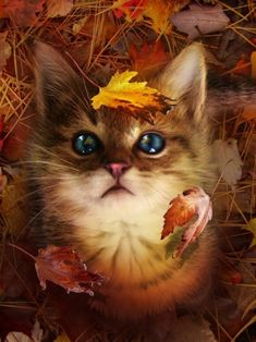 life reloaded, photography, beautiful, cat, kitten, kitty, fall, leaves, leaf, autumn, fall, yellow, red, blue eyes, art work, fluffy