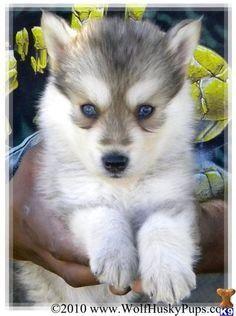 Half wolf half husky