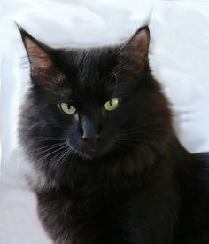 Black Norwegian Forest Cat | Recent Photos The Commons Getty Collection Galleries World Map App ...