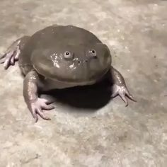 LMAO 🤡 🤡Reposted from ( - This is actually a defense mechanism the frog uses to ward off predators💪🏽🐸 Video by WildGlobe - regrann trending issamovie🎥🎬🎧🎙️🔥🔊🏆🏆🦉🦉 frog igm 1 week ago noertz Funny Animal Memes, Funny Animal Videos, Cute Funny Animals, Cute Baby Animals, Funny Cute, Animals And Pets, Funny Memes, Funny Videos, Funny Frogs