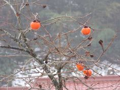 熟柿. ripe persimmon. 17 December 2016.