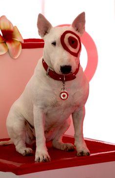 """bullseye"" the English bull terrier for Target. Www.rackcitymt.com supports #no2bsl"