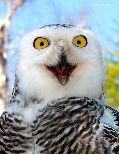 Happy owl having a hoot! Funny Birds, Funny Animals, Cute Animals, Owl Photos, Owl Pictures, Beautiful Owl, Animals Beautiful, Beautiful Pictures, Owl Bird
