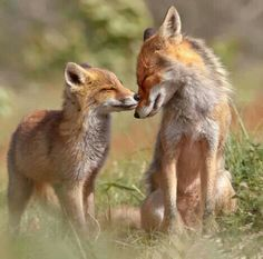 What does the fox say? Hee hee