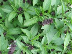 How to Grow Basil, Growing Basil: Thai basil with purple blooms