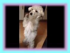 White Dancing Dog