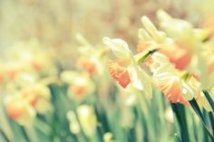 Nature Daffodils Narcissus Flowers HD Wallpaper
