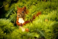 Looks like a Christmas tree squirrel to me. Hamster, Red Squirrel, Majestic Animals, Tier Fotos, Beautiful Creatures, Animal Kingdom, Wallpaper Backgrounds, Good Morning, Nature Photography