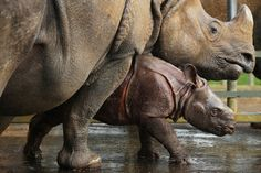 Jamil the four week old Greater One Horned Rhinosauras stands with her mother Behan in their enclosure at Whipsnade Zoo